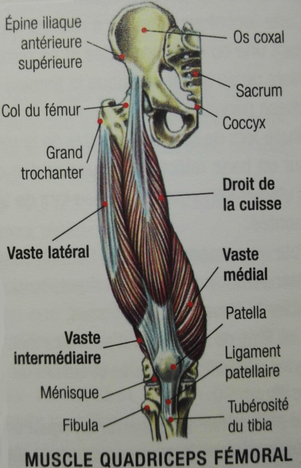 Le quadriceps fémoral : le muscle du galbe de la cuisse • Mickaël ...